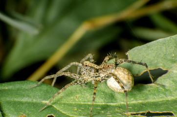 Native thai jumping spider sitting on  a leaf
