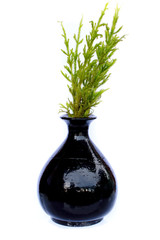 Vase with a lucky plant