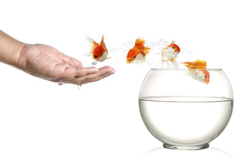 Golden fish jumping out of  human palm into fishbowl isolated