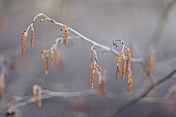 catkins on the trees in spring, blurred background