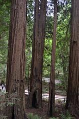 pathway in Muir Woods, California