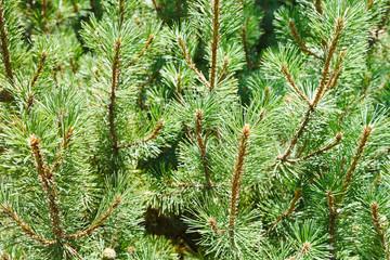 many green sprigs of pine tree