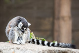 A lonesome Ring-tailed Lemur poster