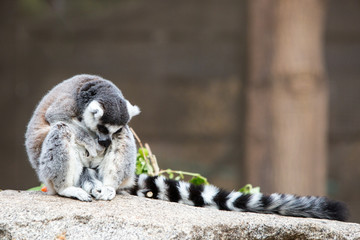 A lonesome Ring-tailed Lemur