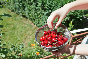 girl eats ripe red sweet cherries