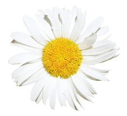 Ox-eye daisy flower close up isolated