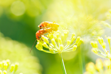 two soldier beetles on dill plant