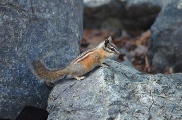 Chipmunk on a rock, lake Tahoe, California