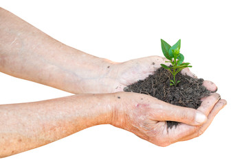 old man hands with soil and green sprout
