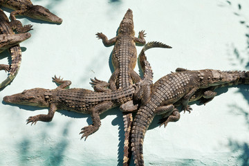 few young crocodiles on Crocodile Farm