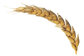 dried ear of ripe wheat isolated on white
