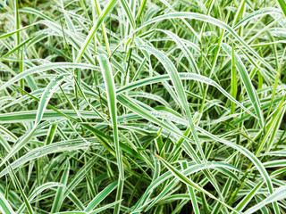 wet green blades of Carex morrowii Variegata