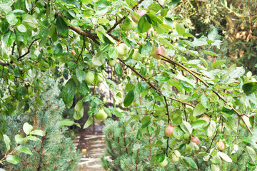 apple tree branch with ripe fruits over path