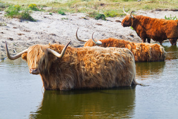 Three Highland cows cooling off in a lake