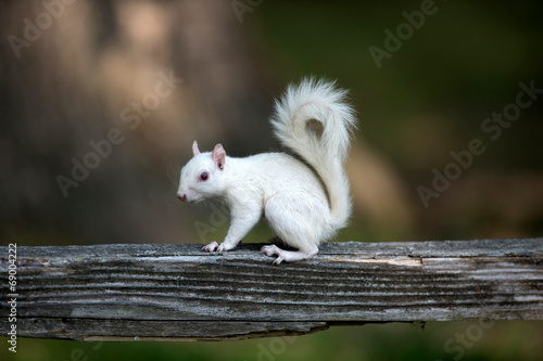 Fotobehang Eekhoorn White squirrel on wooden railing