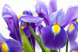 Fototapety violet yellow iris blueflag flower on white backgroung