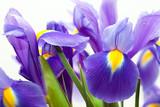 Fototapety violet yellow iris blueflag flower on white backgroung