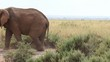 A lone elephant moves along the path.. Maasai Mara.