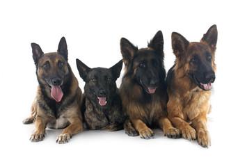 four sheepdogs