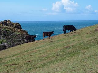 Stock farming at the Cornwall coastline