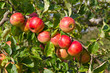Rote Äpfel im September