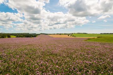 Field of clover flowers in bloom