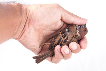 Death body of sparrow in hand