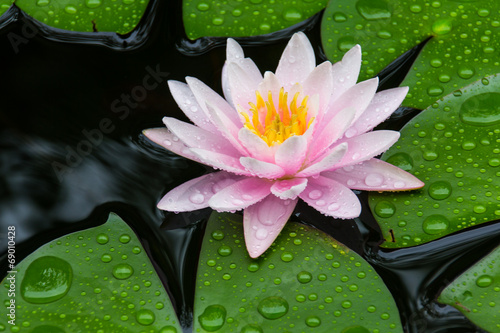 Foto op Canvas Water planten Pink Lotus
