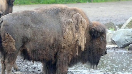 American bison (Bison bison) in the rain