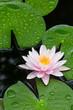 Pink Lotus - 69010852