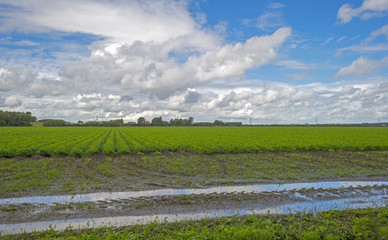 Field of carrots after rain in summer