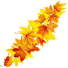 Falling autumn maple leaves isolated on white background
