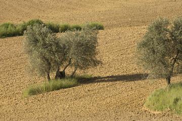 Olivenbäume auf einem Feld