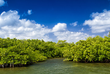 Mangroves growing in shallow lagoon, bay of Grand Cayman, Cayman