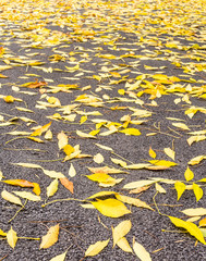 Yellow leaves of ash on the gray asphalt