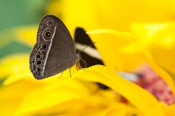Closeup of the exotic butterfly Caligo spp