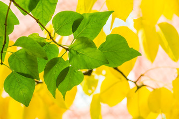 Green leaves of lilac on a background of yellow pear leaves