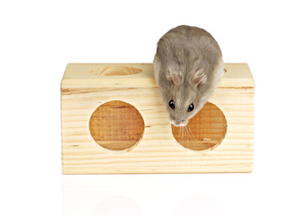 Dwarf Hamster Sat on Wooden Block