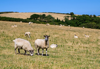 Pair of Sheep Grazing in a Field