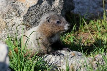 Juvenile Hoary Marmot
