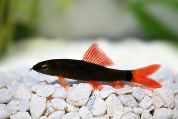 Rainbow shark catfish (Epalzeorhynchos frenatum) red tailed