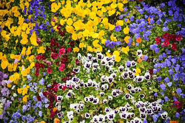 Viola flower background
