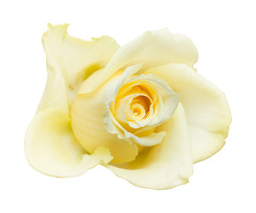 pale yellow rose isolated