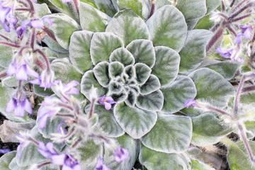 Petrocosmea Gesneriaceae