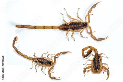 Fototapeta Bark Scorpion