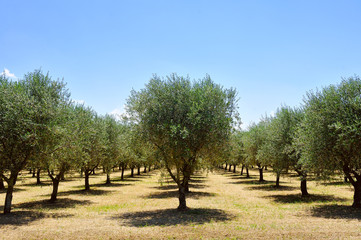olive trees, Tuscany, Italy, Europe