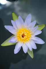 purper lotus