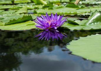 Purple lotus flower  reflection