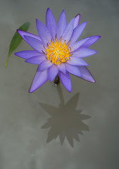 Purple waterlily reflection