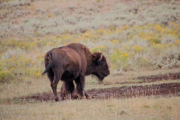Bison Enjoying the Sunshine